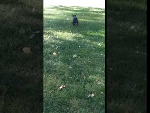 Blackbrindle female playing