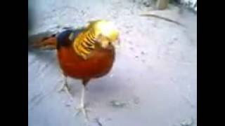 Male  golden pheasant or Chinese pheasant, (Chrysolophus pictus)