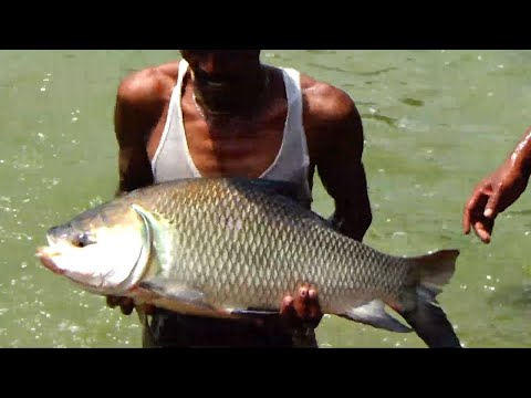 Big Fish Farming Business in The Village of Bangladesh