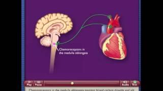 Sensory Receptors - Chemoreceptor
