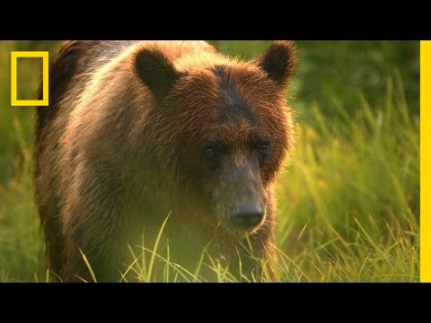 A Cameraman's Wild Encounter With Bears in Alaska | Short Film Showcase thumbnail