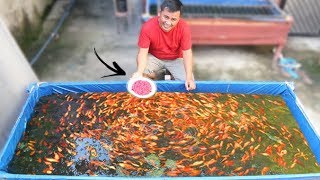 This is the best food to grow your fish faster