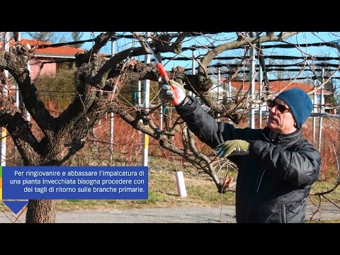 Trattamento dei caporali Vasily Nikitovich di varicosity