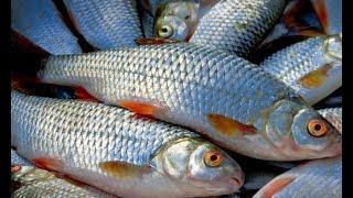 Прикормка для рыбы своими руками универсальная