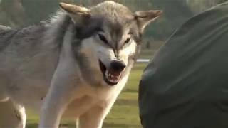 ДОМАШНИЕ ВОЛКИ охраняют оленей от ДИКИХ ВОЛКОВ 2019