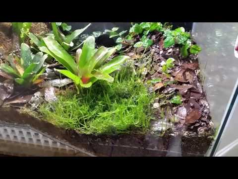 Strawberry Dart Frog Breeding Vivarium