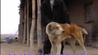 Собаки старого Хорезма (Ургенч)