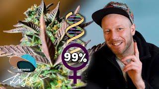 Wie man weibliche ♀ Cannabis Seeds ZÜCHTET