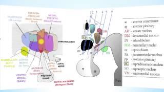 Hypothalamus Part 1