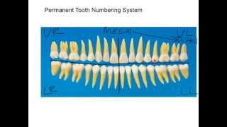 Permanent Dentition Numbering System Tutorial