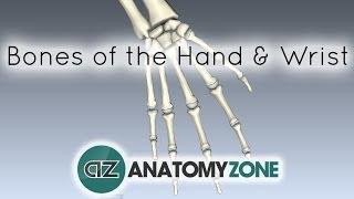 Bones of the Hand and Wrist - Anatomy Tutorial