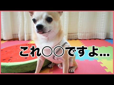 インスタ映えするクッションが気にいらないチワワ【dog】【chihuahua】【funny and cute】