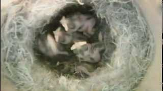 preview picture of video 'Blue Tit Nestbox: day 7'