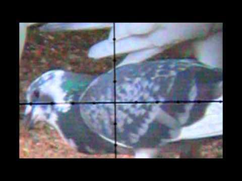 Pellet Power & Performance 5 – Kill shots on a pigeon