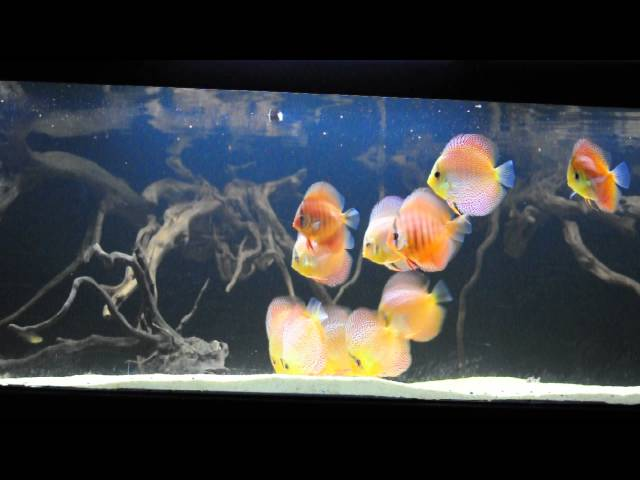 Discus Fish, Aquascaping, Planted Aquarium, Chennai, Bangalore