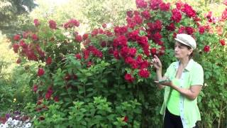 Смотреть онлайн Отзыв про уход и размножение плетистых роз