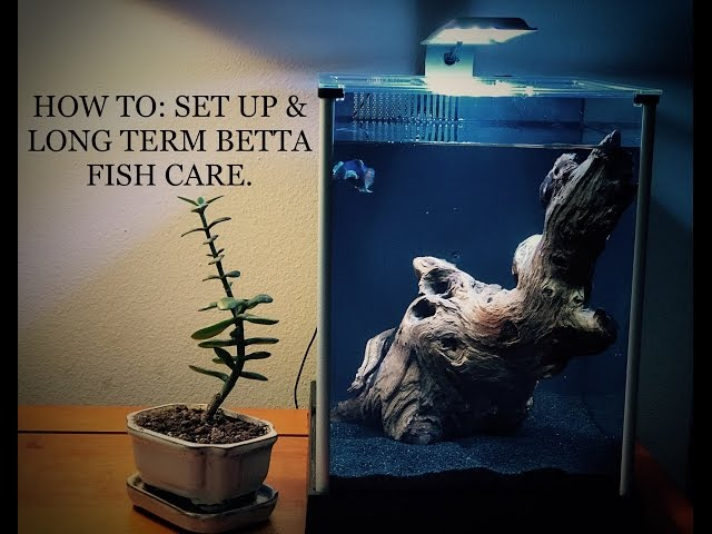 HOW TO BUILD: SET UP & LONG TERM BETTA FISH CARE (SIAMESE FIGHTING FISH)