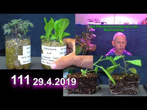 Neues Pflanzenlicht erste sichtbare Ergebnisse der Pflanzenanzucht nach 2 Monaten