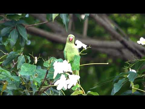 Pollination disrupted by Rose- Ringed Parakeets  | Singapore