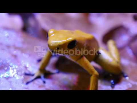 GOLDEN POISON ARROW FROG THE GOLDEN POISON FROG PHYLLOBATES TERRIBILIS ALSO KNOWN AS THE GOLDEN FROG