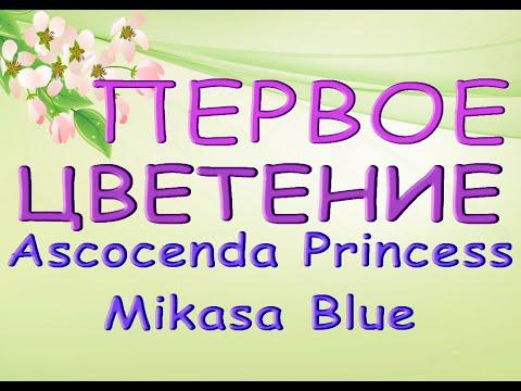"ЗАЦВЕЛА аскоценда ""Принцесса МИКАСА БЛУ""!Ascocenda Princess Mikasa Blue.Орхидея ванда,аскоценда."