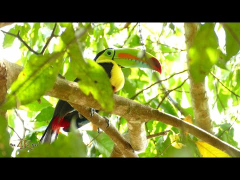 Keel Billed Toucan is the most flamboyant bird in the Americas