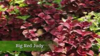 Plant Coleus in Your Home Garden