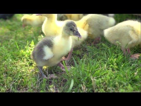 , title : 'Goslings Imprint on Allen   Farm Raised With P. Allen Smith