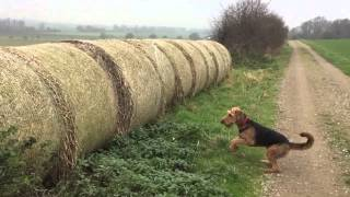 Airedale Terrier jumping on hay roll...slow motion version.