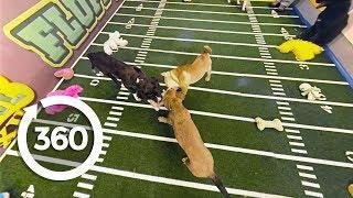Three Puppy Tug of War | Puppy Bowl XII (360 Video)