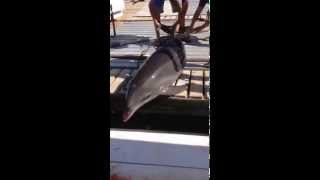 Dolphin released after jumping into small family boat