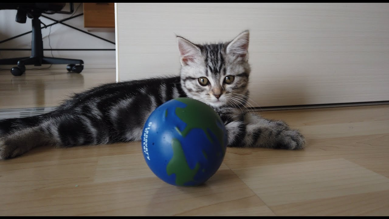 初めてボールと遭遇した子猫が可愛すぎます【アメリカンショートヘア】