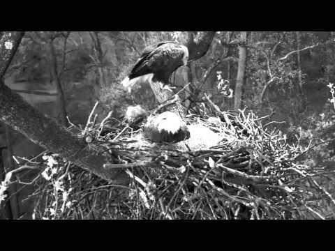 DC Eagle Cam-Hatch In Progress 3-17-16