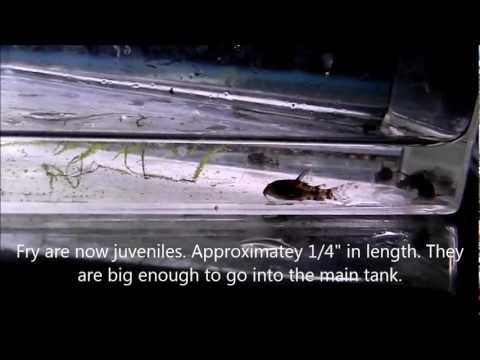 Raising Peppered Corydoras Fry - 2013