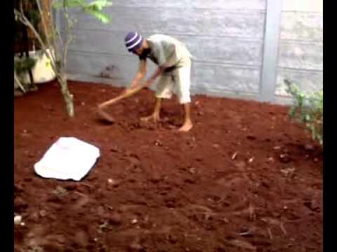 Video Menanam rumput Gajah Mini Bagian 1 dari 4
