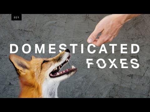 All You Need to Know About Domesticated Foxes