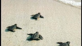 New Born Baby Turtles Crawling To The Ocean
