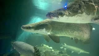 The Amazon river monster was lying in the tank | Arapaima gigas | pirarucu