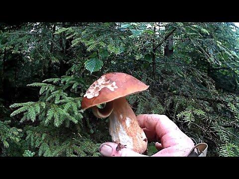 Помаленько починають рости Білі Гриби \ Little by little, White Mushrooms begin to grow