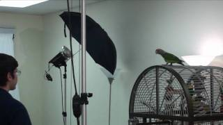 Truman Cape Parrot - Realities of Training Flighted Parrots