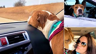Rescue Stolen Pit Bull Found 2000 Miles Away Just In Time For Christmas