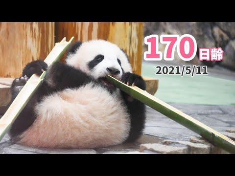 【パンダの赤ちゃん(楓浜)】小さな体には長すぎる竹がお気に入り?(170日齢)