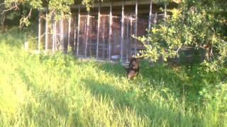 Hog Dog Cur Balck Mouth Hog Hunting