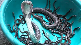 Catching Mother Cobra and her Cubs in the Garden - Snake Catchers