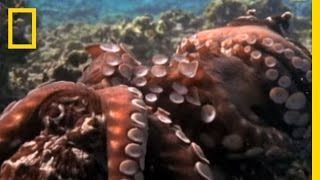 Octopus - Mating Ritual