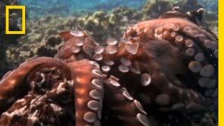 Octopus - Mating Ritual