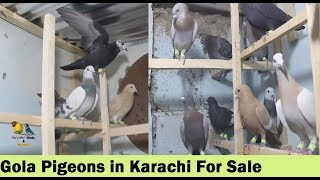 Patti Waley Kabootar Price Check - Short Video On Views Demand
