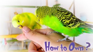 How to Own a Parakeet or Budgie?