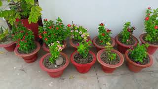 Overview Of My Terrace Garden With Flowers Blooms🌺🌼🏵🌸🌹🌼🏵2 July 2018