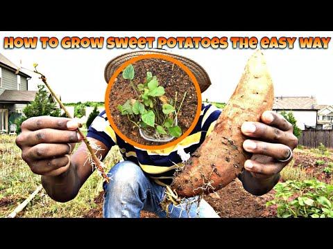 HOW TO GROW SWEET POTATOES THE EASY WAY